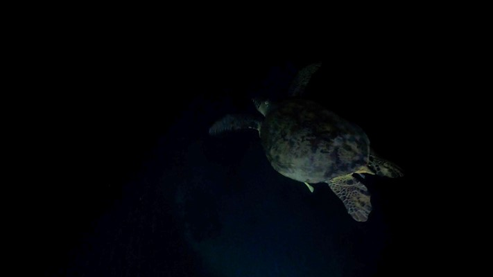 Turtle During Night Dive | Marsa Shagra | 11.07.2020