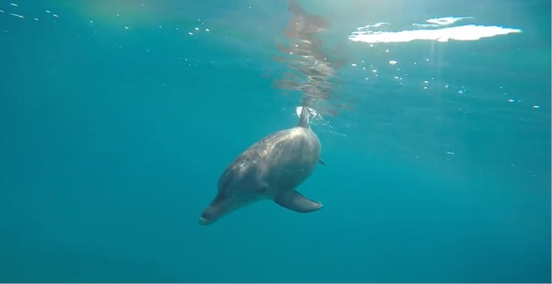 Bottlenose Dolphin visits Shagra House Reef for the day by Blake and Sabrina