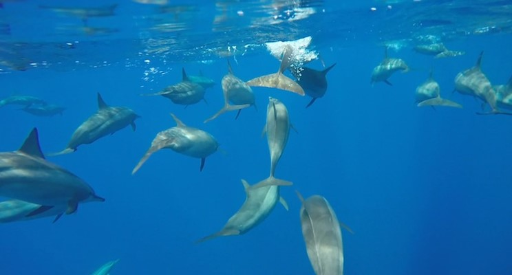 Dolphins at Shaab Sharm by Sarah