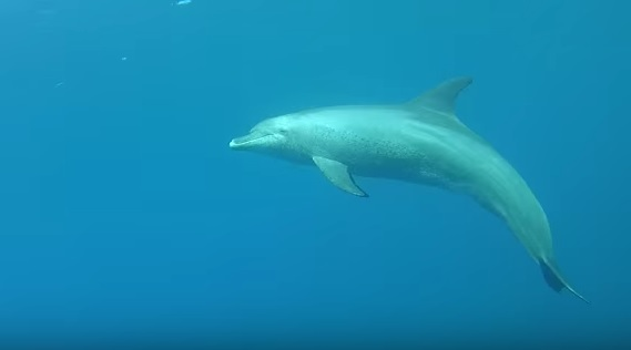 Dolphin at Marsa Nakari 3rd April