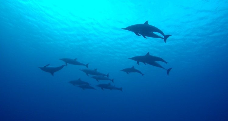 Spinner Dolphins at Marsa Shagra House Reef