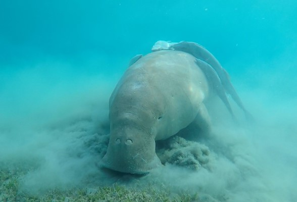Dugong at Marsa Mubarak by Arnaud