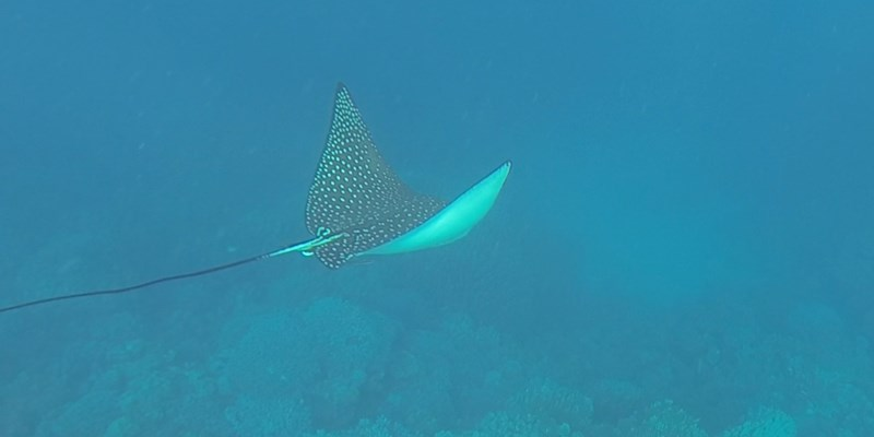 Eagle Ray at Marsa Nakari House Reef by David Oakley