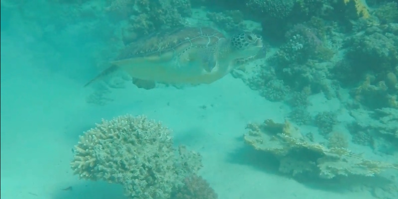 Green Turtle at Marsa Shagra house reef