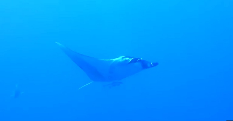 Huge Manta at Maksour 9th July 2015