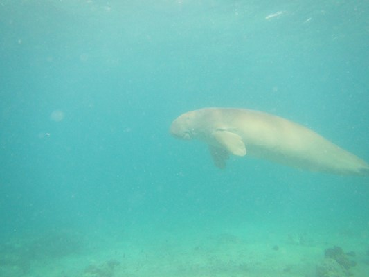 Dugong at Marsa Mourain