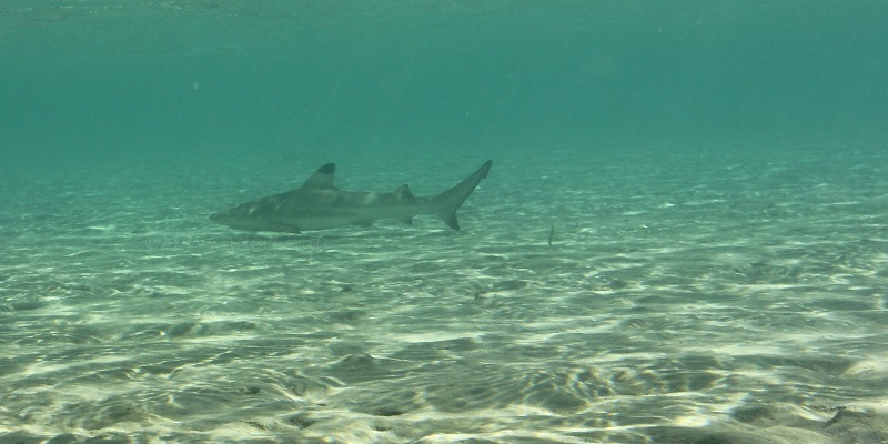 Baby Black Tip Sharks at Marsa Shagra