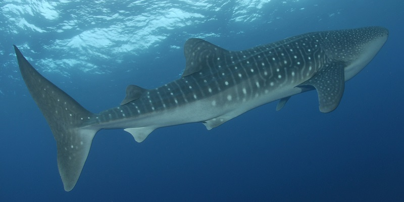 Whale Shark at Elphinstone!!