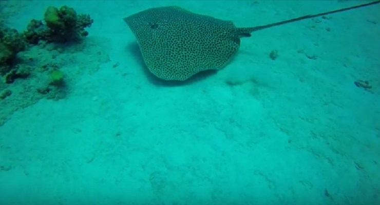 Leopard Ray at Shabrour North