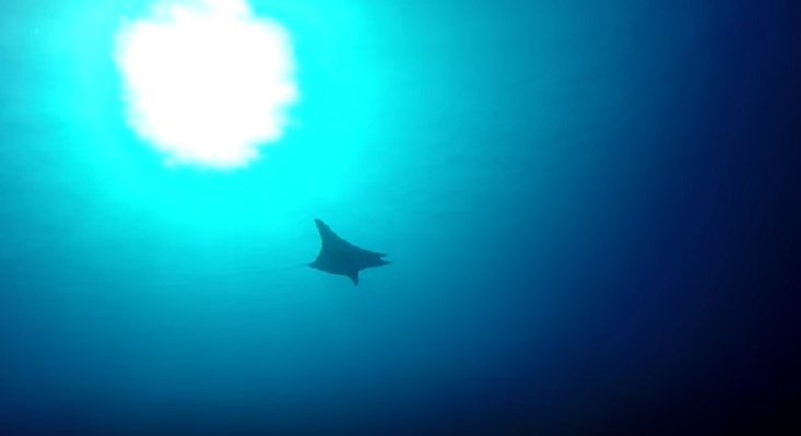 Manta Ray at Abu Galawa