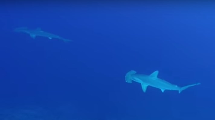 Hammerheads & Grey Reef Shark at Elphinstone