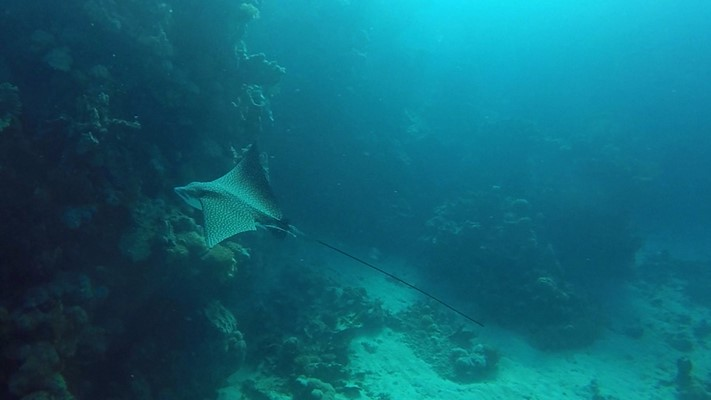 Eagle Ray at Marsa Nakari house reef by Gerhard Pichler