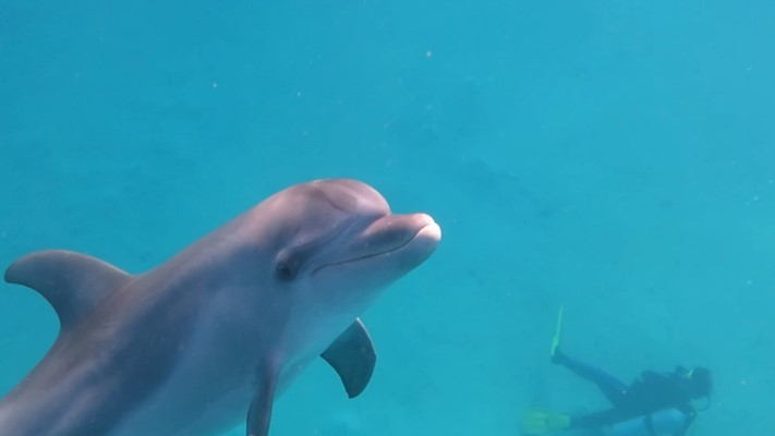 Bottlenose Dolphins at Marsa Nakari House reef by Oliver