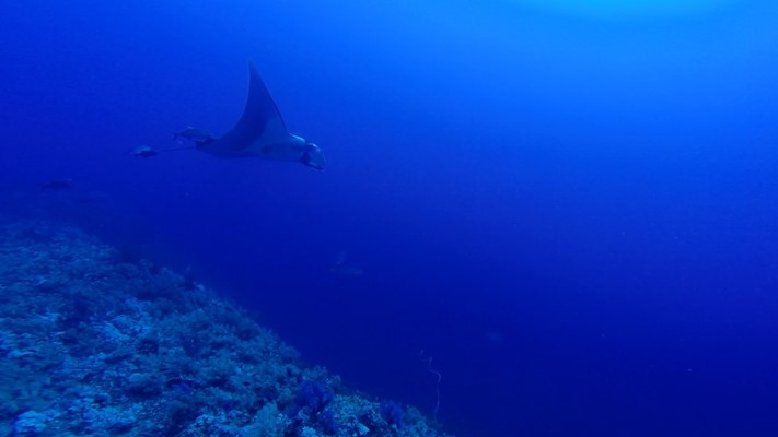 Manta and Grey Reef Shark at Elphinstone by Bahi and Moataz