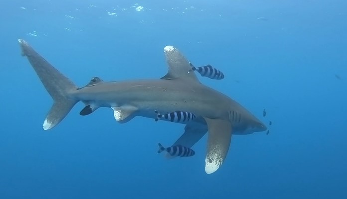 Oceanic Whitetip Shark at Elphinstone by Robby Frank