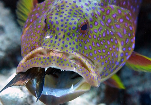 Grouper eating a puffer fish!