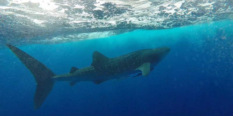 Whale Shark at Shaab Abu Dabab & Om Halhala by Tim Kjell