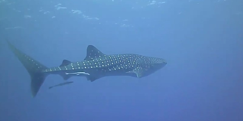 Whale Shark at Nemo City