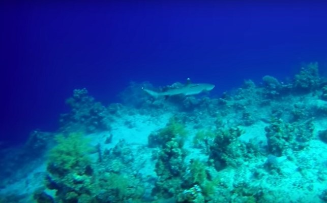 White Tip Reef Shark at Hard Road