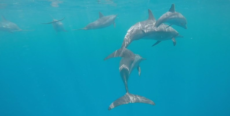 Dolphins at Marsa Shagra House Reef