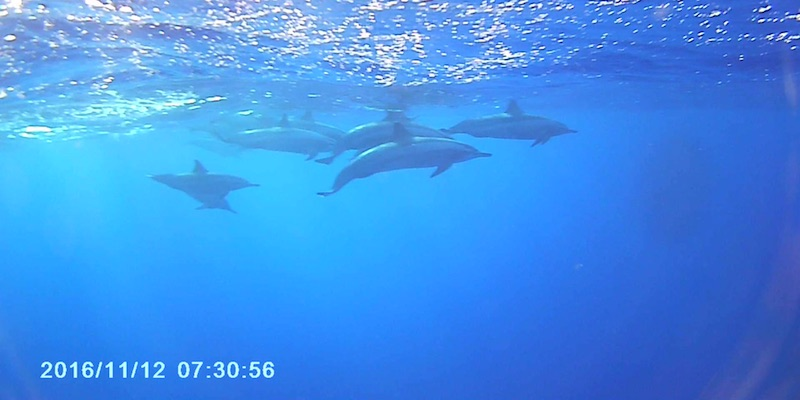 Spinner Dolphins at Marsa Shagra House Reef by Vincent