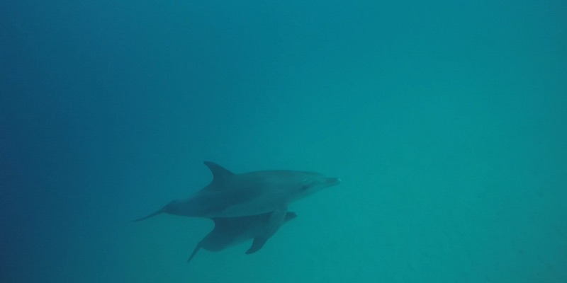 Two Bottlenose Dolphins at Marsa Shagra House Reef by Sherif Darwish