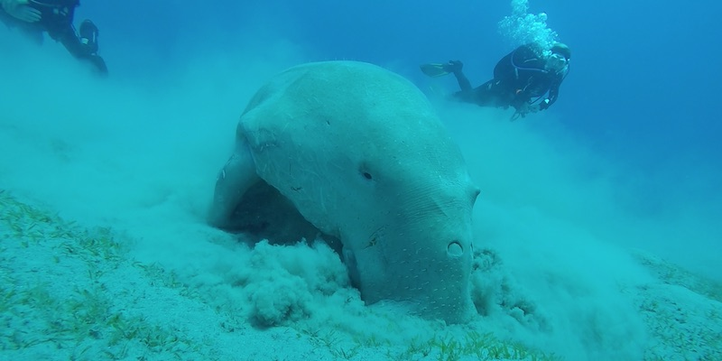 Dugong at Marsa Abu Dabab by Anne