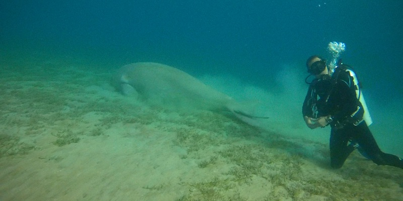 Dugong at Marsa Egla