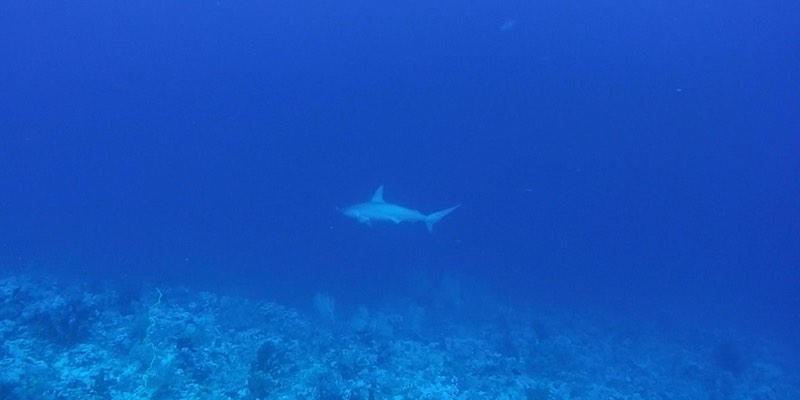 Hammerhead and Grey Reef at Elphinstone by James Coope