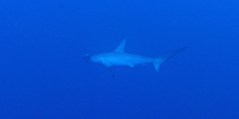 Hammerheads and Grey Reef at Elphinstone by Dr Hossam