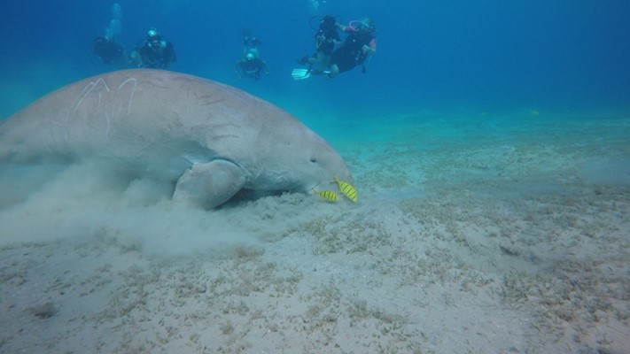 Dugong at Marsa Abu Dabab by Lars Lundquist