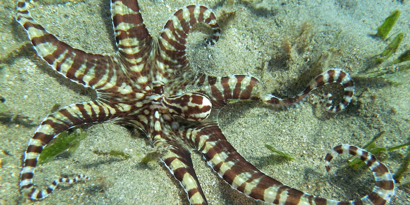 Mimic Octopus at Marsa Abu Dabab by Izabela