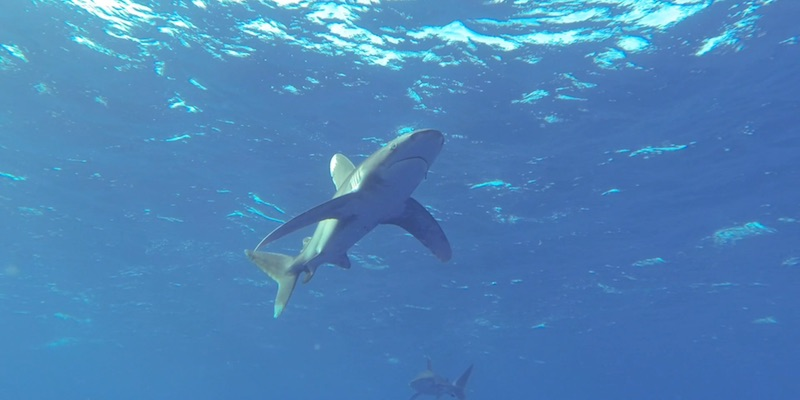 Oceanic White Tip Sharks at Elphinstone by Eamon