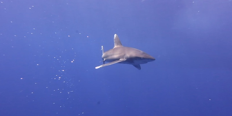 Oceanic White Tip at Elphinstone by Izabela