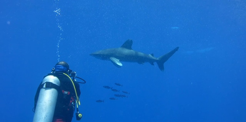 Oceanic White Tips at Elphinstone by Pavlina and Iga
