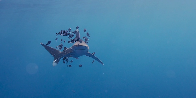 Oceanic White Tip at Elphinstone by Manuel