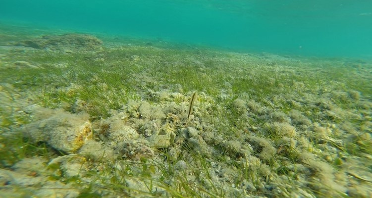 Shrimpfish in the seagrass at Marsa Nakari by Pavlina