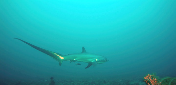 Thresher Shark at Elphinstone