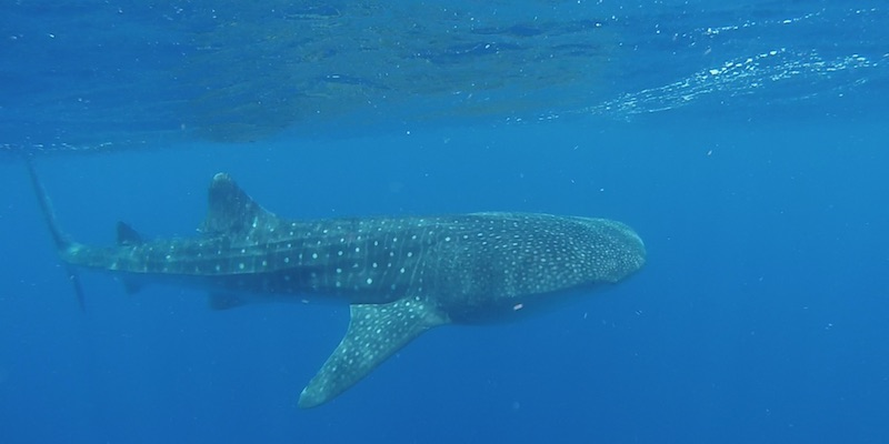 Whale Shark at Habili Nakari by Assem