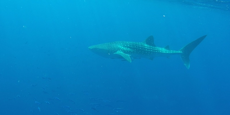 Whale Shark at Marsa Shagra House Reef by Michael