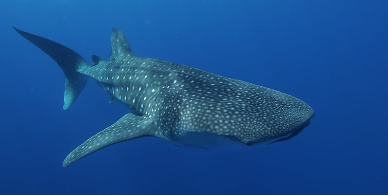 Whale Shark outside Marsa Shagra House Reef by Matthias