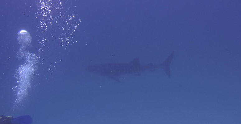 Whale Shark at Marsa Shagra House Reef by Bert